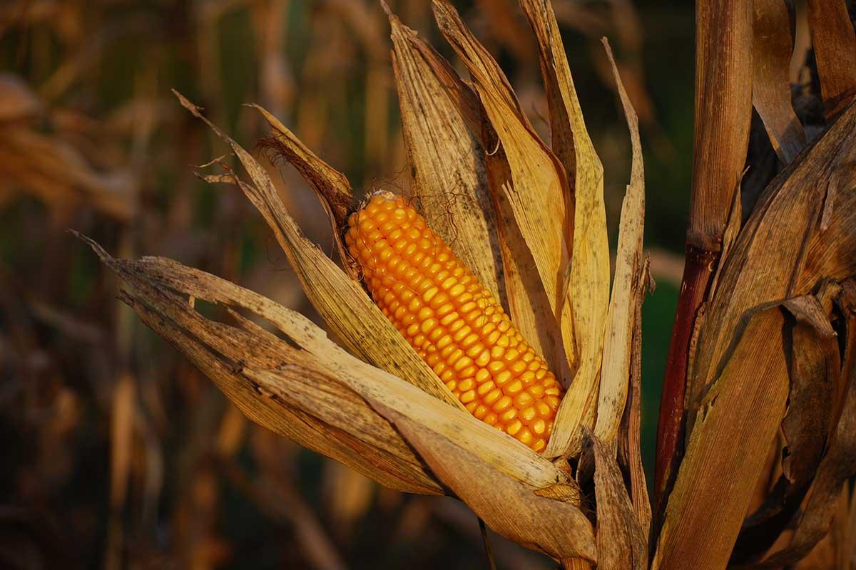 características do milho