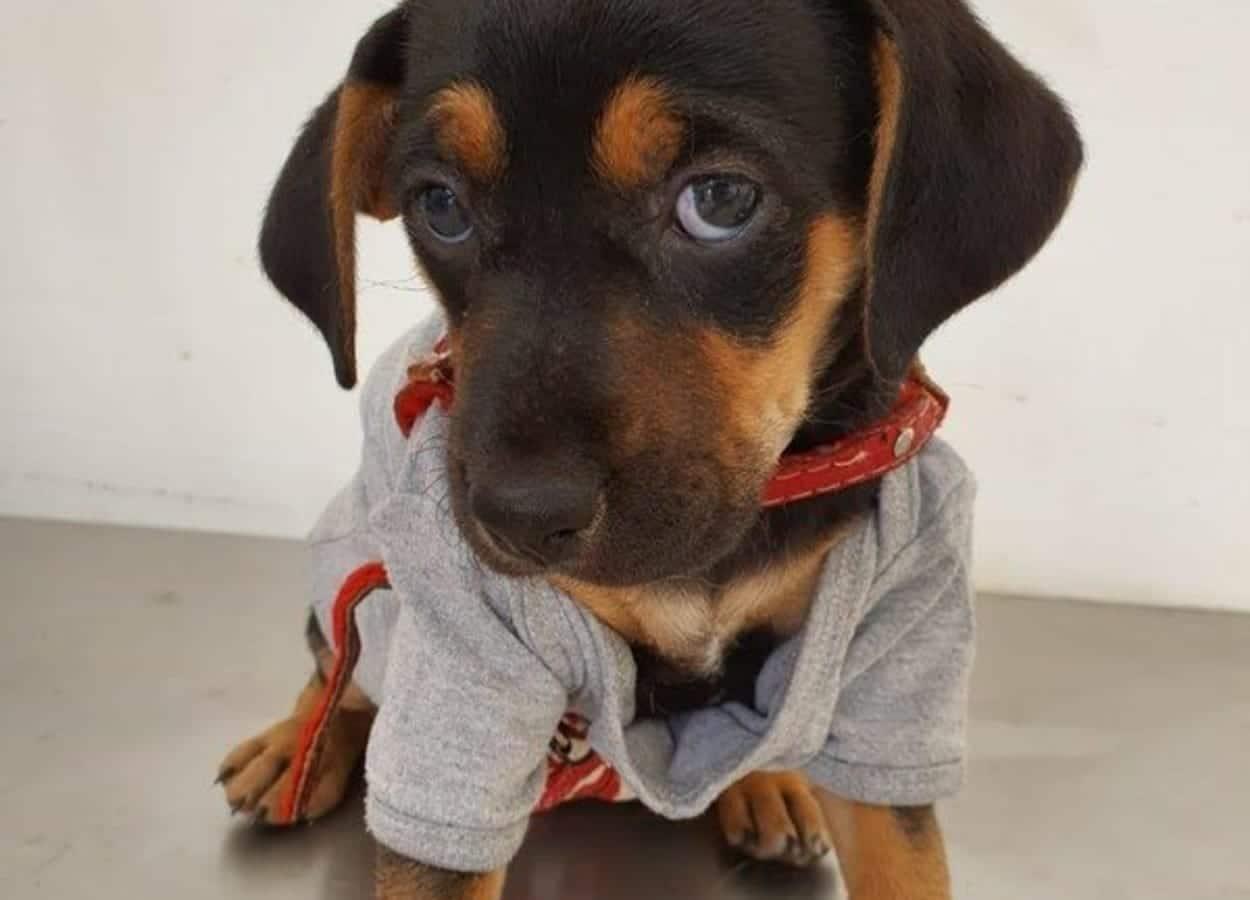 Cachorrinho que passou pelo atendimento médico