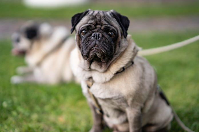 Pets braquicefálicos